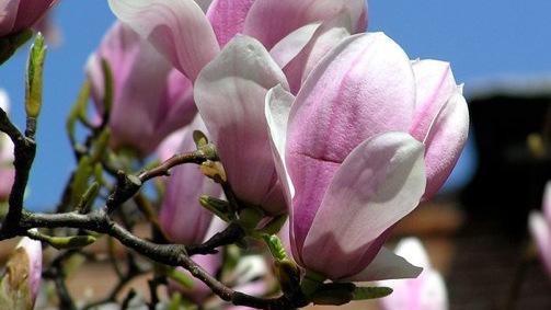 Magnolia - Linda Rittlemann