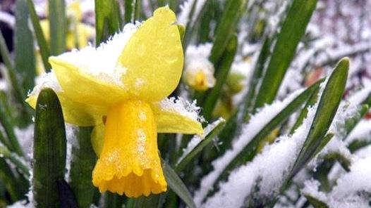 Snowy Daffodils, Rittelmann