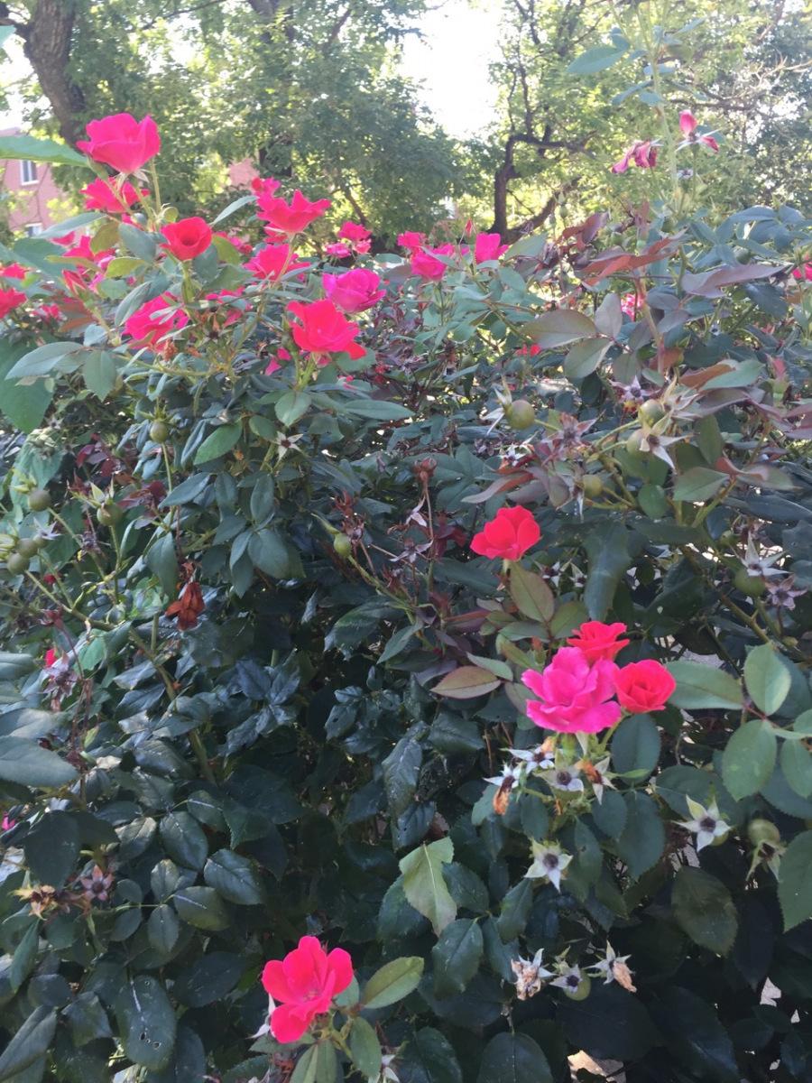 1_eutaw-roses