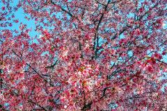Bulletin-Staff-Cherries-on-Park
