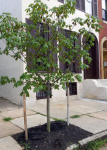 New Street Tree