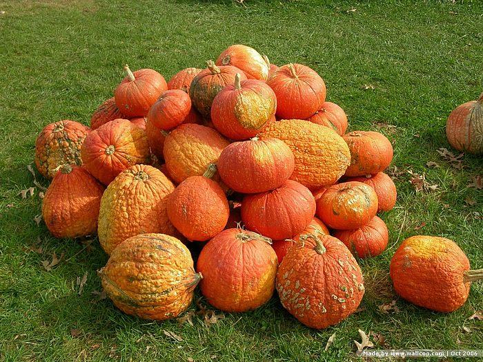 pumpkin_pumpkins_2067452900011232036usbeiz_fs