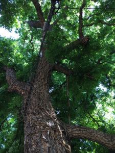 Black walnut, Jenkins Alley